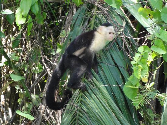 Panama Rainforest Discovery Center: Mono Capachino en la isla de los Monos