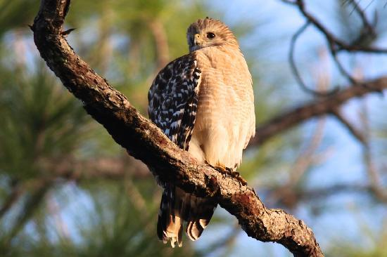 Corkscrew Swamp Sanctuary: Red-shouldered hawk near visitor center