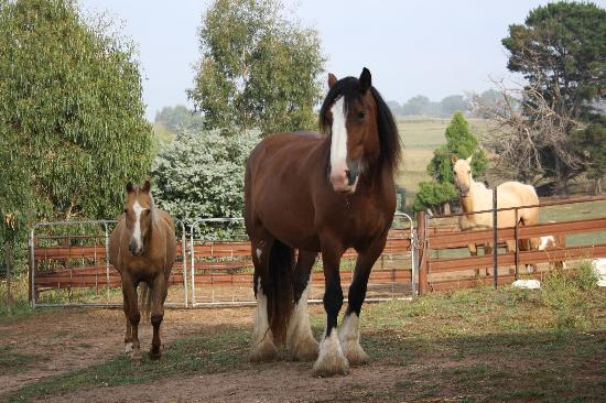 Barcoos Farmstays Bathurst: The beautfull horses