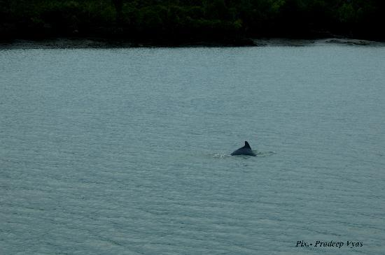 Sunderban Tiger Camp : Sighting Dolphins during cruise