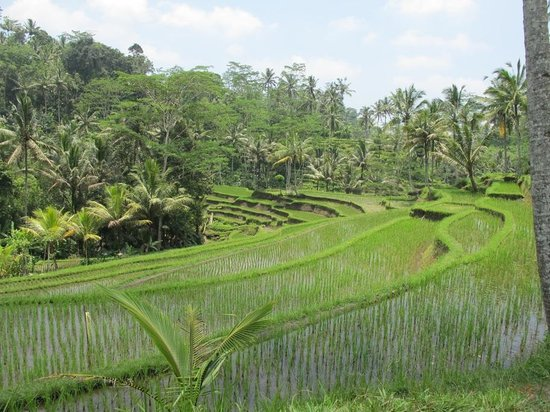 Tampaksiring, Indonesia: Mountain combing rice paddies at gunung Kawi