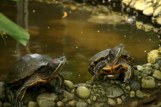 Green Connection: The turtles at the GC