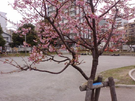 Ota, Japan: 2月の河津桜