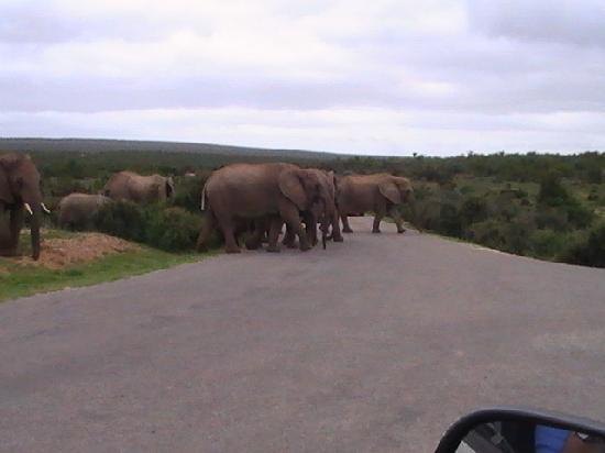 Gaestehaus Saxonia: Elefanten im Addo-Park