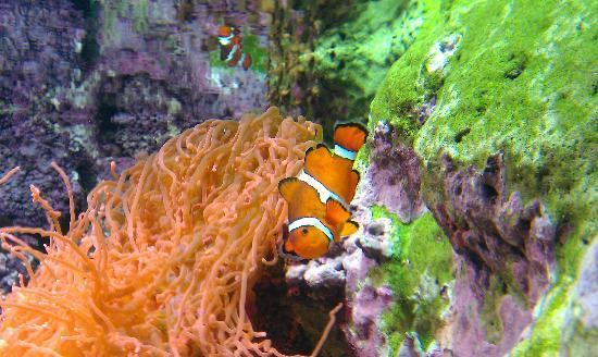 Shedd Aquarium: clown fish