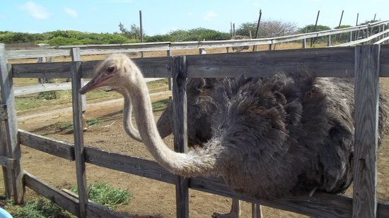 Curacao Ostrich Farm: one of the locals