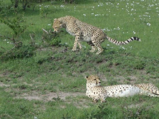 Pounds East Africa Safaris - Balloon Safari: Cheetahs