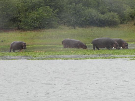 Gache Gache Lodge: Hippos 1 km vom Hotel