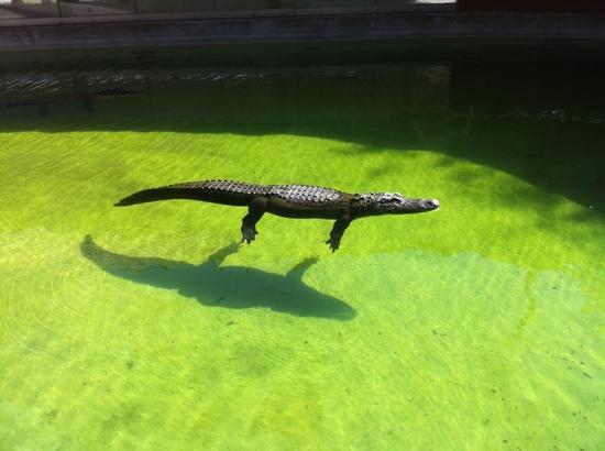 Miccosukee, Φλόριντα: un Alligator