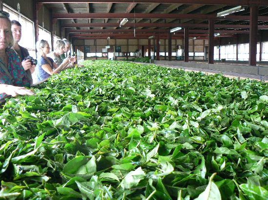 Ceylon Tea Trails: Drying the morning's tea pickings