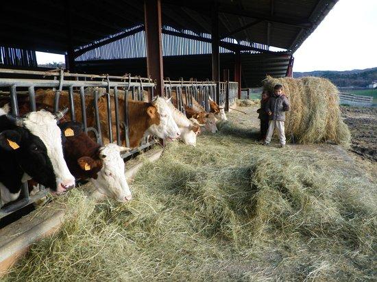 Forcalquier, Frankrike: les vaches