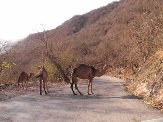 Salalah, Oman: Hilfe, die Kamele sind los!