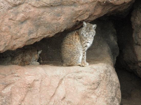 Arizona-Sonora Desert Museum: Cats at the desert museum