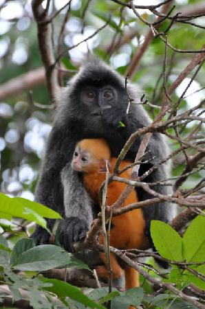 Permai Rainforest Resort: Silver Langur mother and baby seen from Cafe