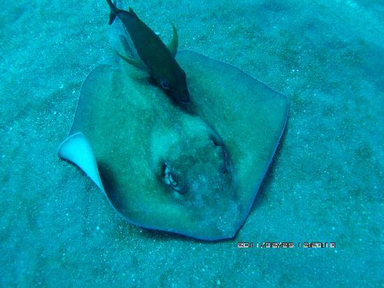 Saba: Sting Ray at Ladder Bay