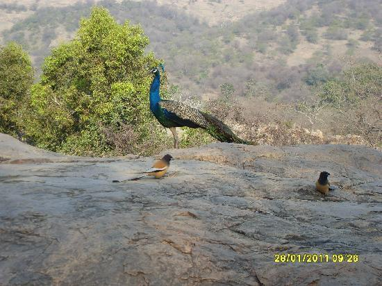 Ranthambore National Park, Indie: I am the national bird of India