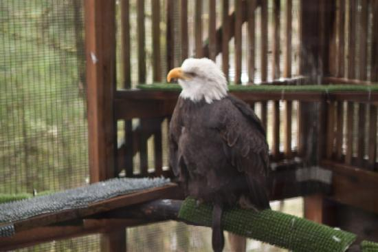 ‪‪Cascades Raptor Center‬: bald eagle‬