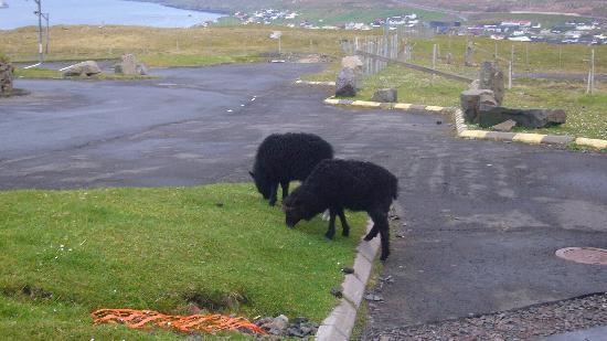 Tórshavn, Islas Feroe: Schaafe
