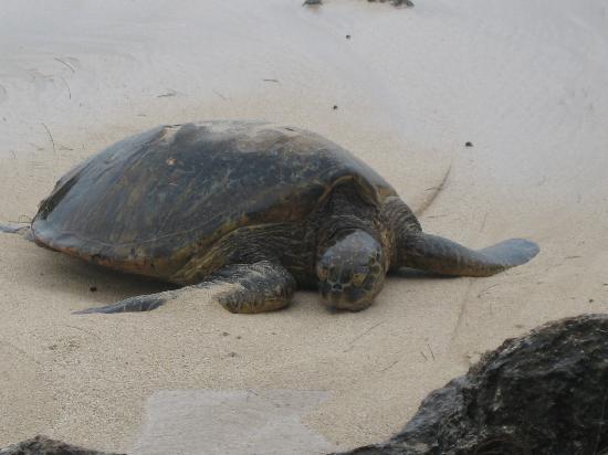Laniakea Beach: けっこう大きいよ