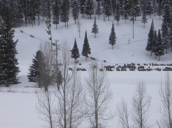 Flying Saddle Resort: Elk herd along the Greys River.....