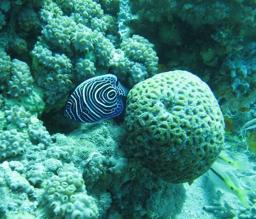 African Divers Nuweiba: Emperor Angelfish