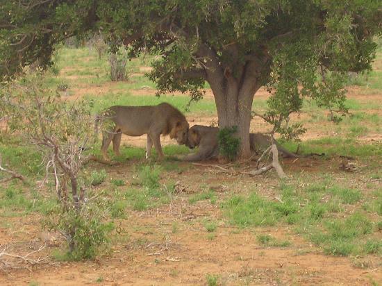 Tiwi, Kenya: leone e leonessa safati tsavo est
