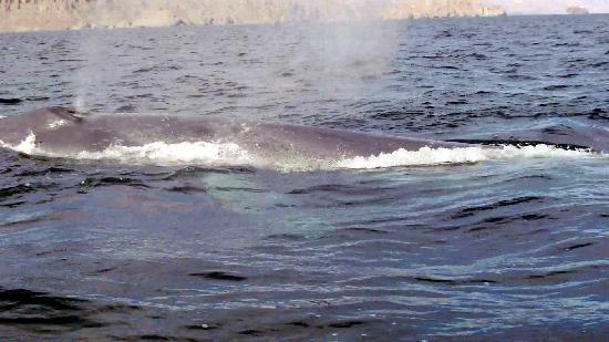 Dos Mundos: Baby Blue Whale