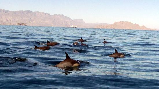 Dos Mundos: Common dolphins