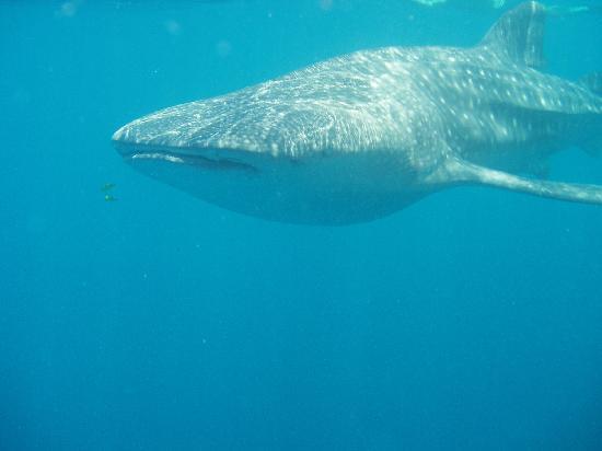 Vilamendhoo Island Resort & Spa: Whale shark snorkelling trip