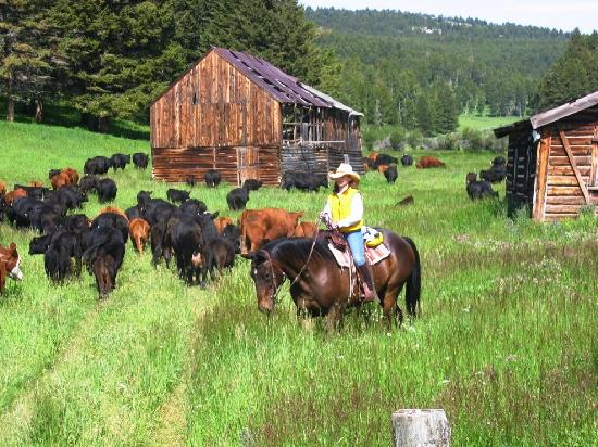 Bonanza Creek Guest Ranch: guests moving cattle