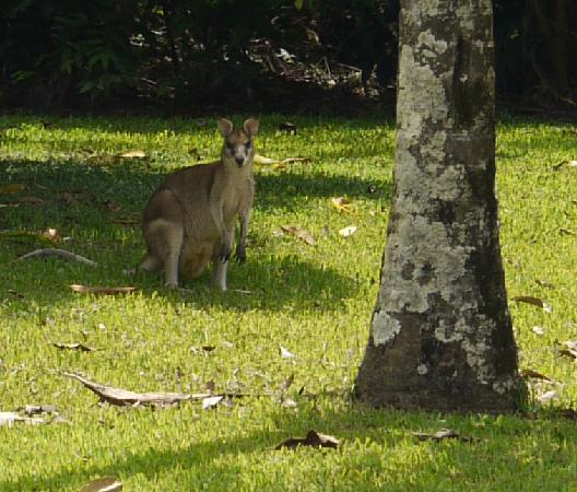 Argosy on the Beach: Wallaby from back porch, Argosy