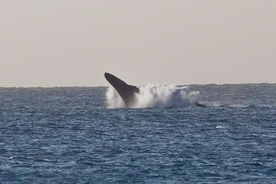 Napili Shores Maui by Outrigger : Highlight: We saw two whales breaching several times right from the pool