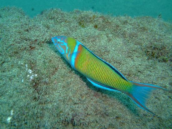 Safari Diving Lanzarote: Ornate Wrasse
