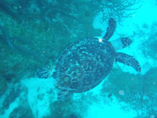Mermaid Dive Center : Sea Turtle