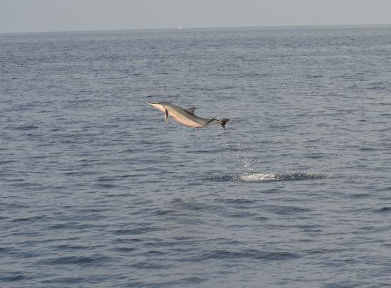 """Captain Dan McSweeney's Whale Watching Adventures : A jumping """"spinner dolphin""""!!!!"""