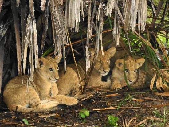 Siwandu : 3 month old cubs, sheltered from the rain