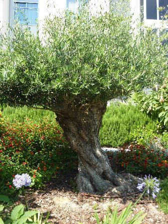 El Plantio Golf Resort: Alter Olivenbaum neben dem Pool