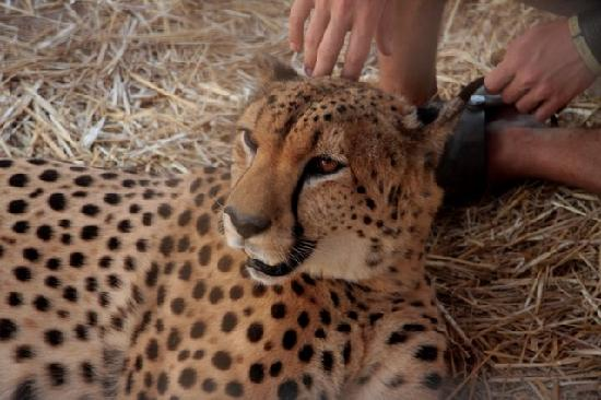 Somerset West, Afrika Selatan: Resting cheetah