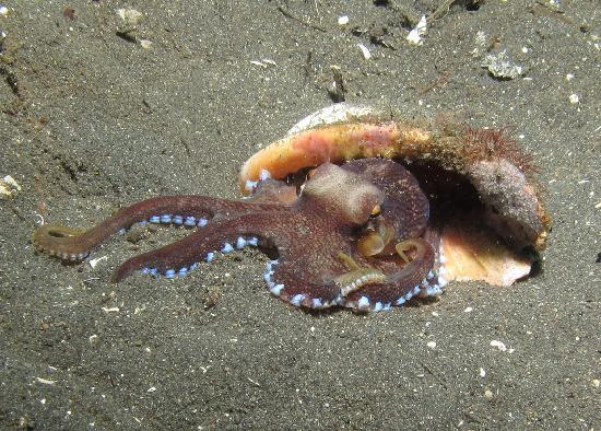 Divers Lodge Lembeh : Coconut Octopus