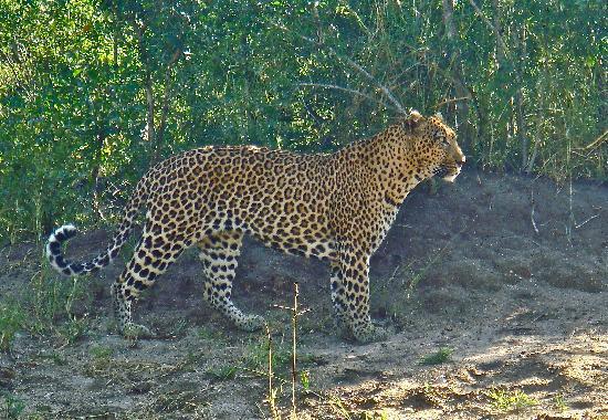 Londolozi Private Game Reserve : Male leopard