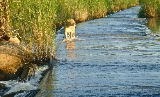 Londolozi Private Game Reserve : Lioness on way to cubs