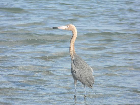 ‪‪Boca Grande‬, فلوريدا: Reddish egret - he ate several ladyfish we fed to him!‬