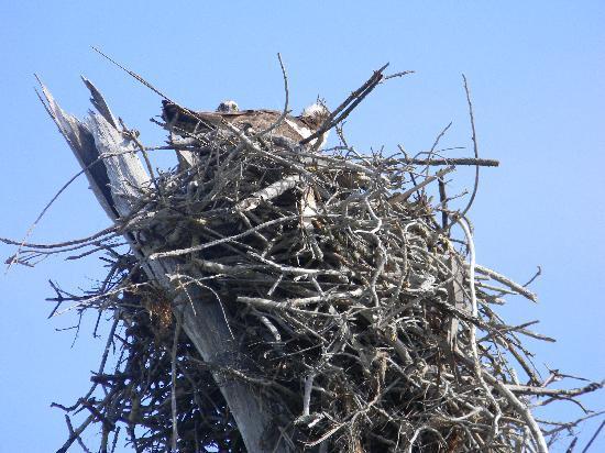 Cayo Costa State Park: Osprey nest near cemetary trail