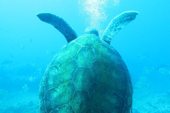 LJ Diving Tenerife: Tortue