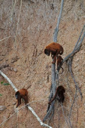 Tambopata Research Center: Howler Monkeys at clay lick