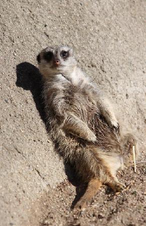 Potter Park Zoo: meerkat