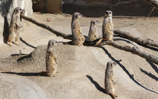Lansing, MI: meerkats