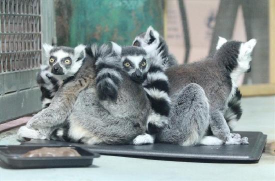 Lansing, MI: lemurs