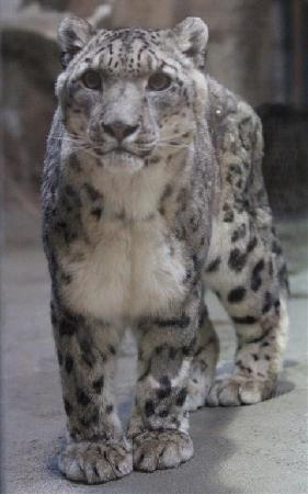 Potter Park Zoo: snow leopard
