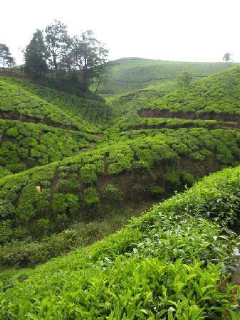 Royal Mist: Kolukulamai_Environs de Munnar